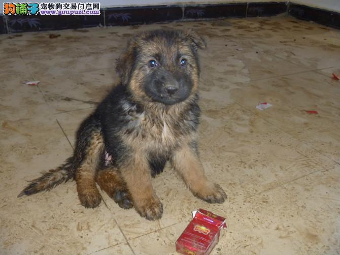*德牧*(黑贝、狼犬)宝宝出售(品质好、价格优)[两个月公母全有]-图片