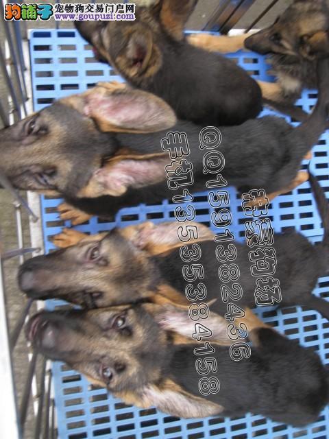 德牧黑背黑贝德牧德国牧羊犬[三个月公狗]-德牧三个月多大 三个月的小图片