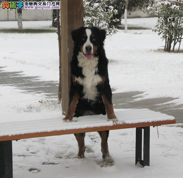 出售家养伯恩山公犬16个月