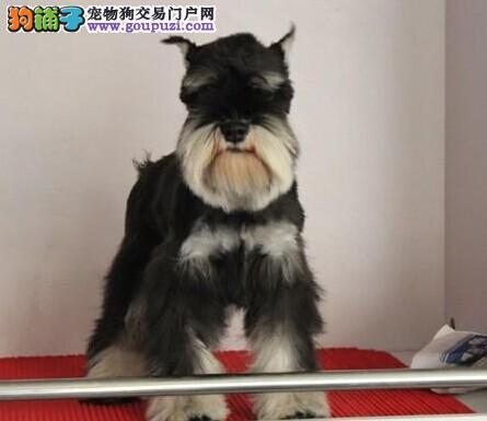 低价出售双冠赛级迷你雪纳瑞质保三年送狗狗用品