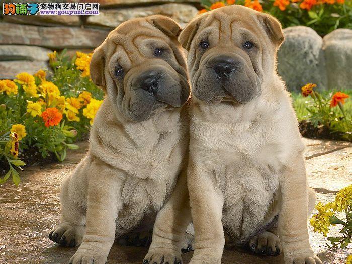宠信会馆冠军犬后代-赛级沙皮犬低价出售中