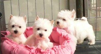 出售纯种西高地幼犬健康保证质量保证