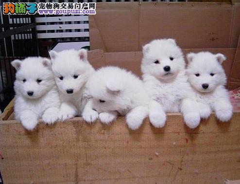 赛级品相西安银狐犬幼犬低价出售质量三包完美售后