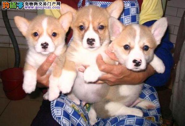 沧州实体店低价促销赛级柯基幼犬可刷卡可视频