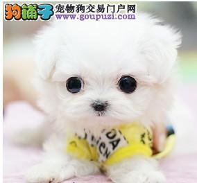 迷你袖珍犬出售 纯种可爱茶杯袖珍犬哈尔滨出售 包健康