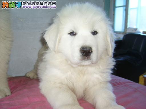出售超活泼可爱的大白熊幼犬,喜欢联系欢迎选购