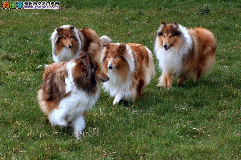 苏格兰牧羊犬幼犬热销中、保证血统纯度、签协议可送货