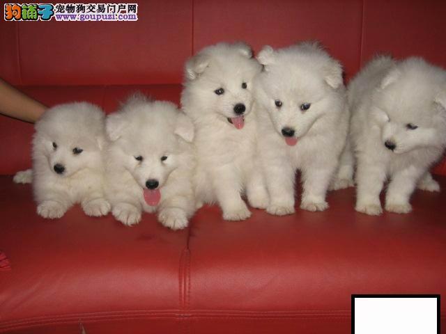 纯种澳版可爱雪白天使萨摩幼犬CKU纯种血统价格优惠