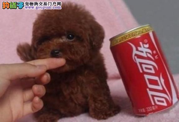 家养多只哈尔滨茶杯犬宝宝出售中签协议上门选