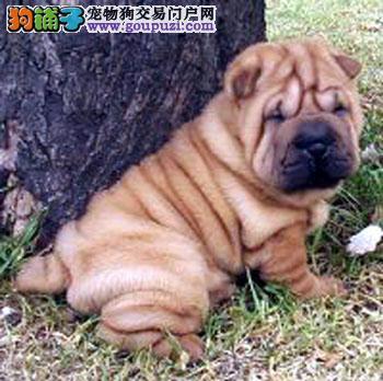 出售沙皮狗幼犬品质好有保障价格美丽非诚勿扰