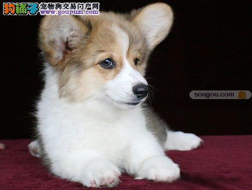 天津最大犬舍出售多种颜色柯基品质一流三包终身协议