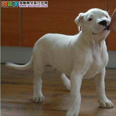 CKU认证犬舍 专业出售极品 杜高犬幼犬微信看狗真实照片包纯