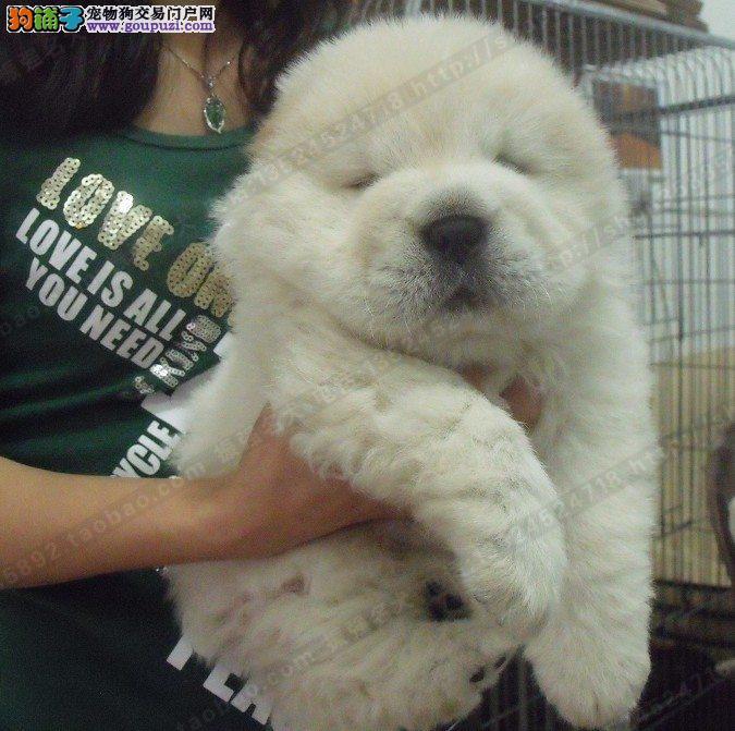 CKU专业犬舍出售赛级白松狮幼犬黄松狮