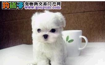 呼和浩特出售茶杯犬幼犬品质好有保障微信咨询看狗