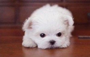 多种颜色的茶杯犬找爸爸妈妈质量三包多窝可选