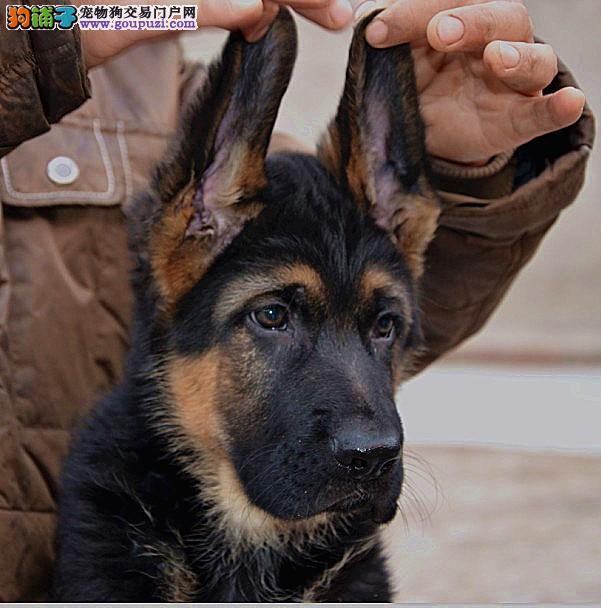 纯种德国牧羊犬宝宝汉中地区找主人爱狗人士优先