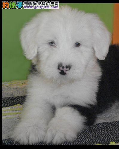 宁波哪里有卖古代牧羊犬、古代牧羊犬价格、图片