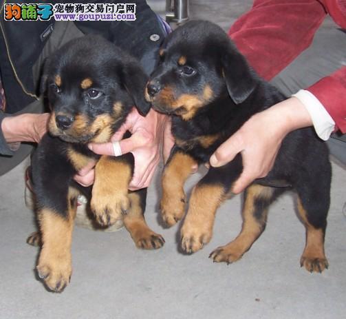 南京什么地方有卖罗威纳南京罗威纳幼犬怎么卖
