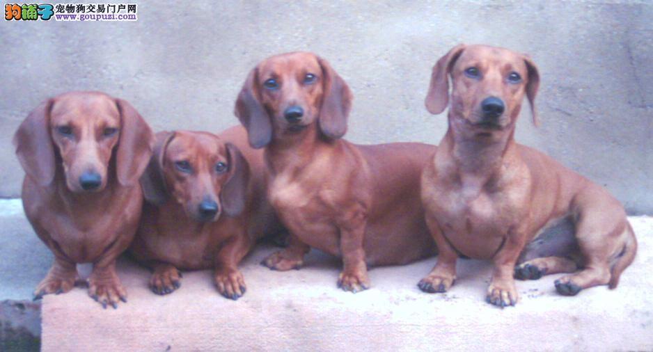 郑州最大的腊肠犬基地 完美售后签订终身协议