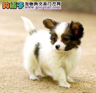 精品蝴蝶犬 保证健康 保证纯种 疫苗齐全