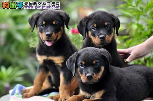 专业养殖 纯种 防暴犬罗威纳(那)幼犬德系小罗