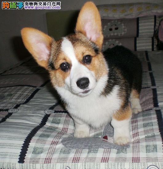CKC京义犬业售日本本土冠军JACK直子/签售协议质保三年