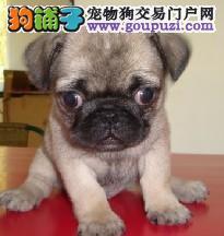 狗场纯种,可爱,满脸皱纹的巴哥犬,纯种健康有保证