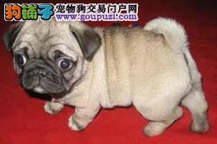 苏州出售巴哥幼犬包纯种品质健康独有保障