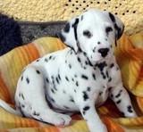 出售纯种 大麦町犬 斑点犬 幼犬 健康纯种