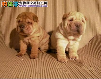 纯种高品质沙皮幼犬 价格实惠 性价比高 喜欢的联系