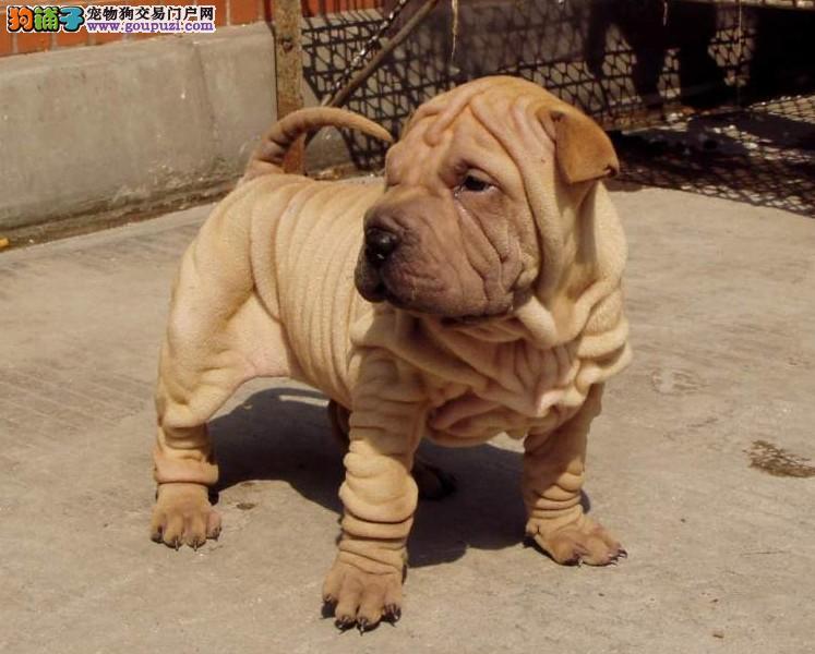 CKU犬舍认证天津出售纯种沙皮狗可直接微信视频挑选