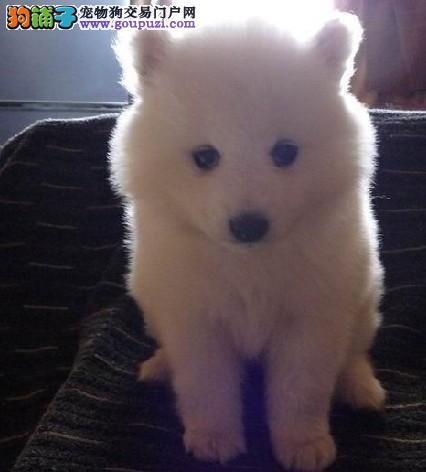 保健康毛色雪白的3个月银狐宝宝出售赛级品相