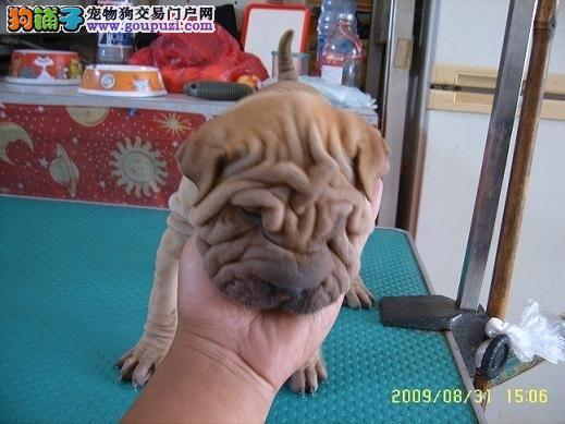 完美品相血统纯正郑州沙皮狗出售优质售后服务