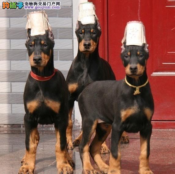品质健康有保障南京杜宾犬热卖中喜欢的别错过