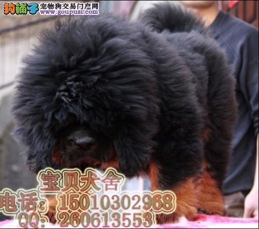 北京 天津/世界名獒 最大的藏獒藏獒王 藏獒 北京藏獒园[两个月公母全有]