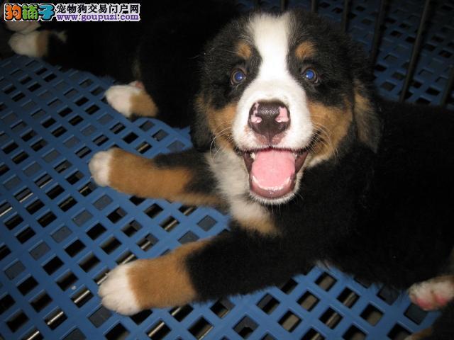 出售赛级伯恩山 价格美丽品质优良 微信咨询看狗