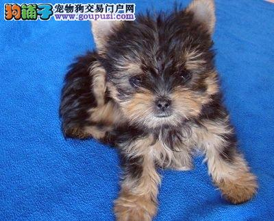 出售可爱长毛约克夏幼犬金头银背品相纯正超可爱约克夏