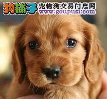 南京哪里出售可卡犬 可卡犬价格多少钱一只