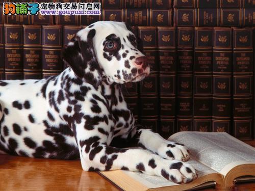 石家庄实体店低价促销赛级斑点狗幼犬看父母照片喜欢加微信