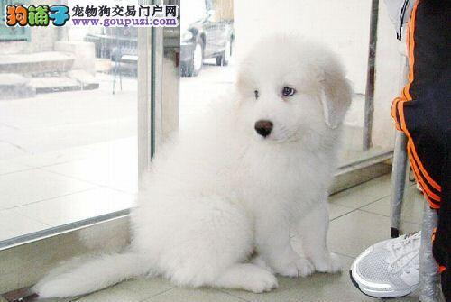 新新宠物出售大白熊BB,喜欢的朋友来看看哈