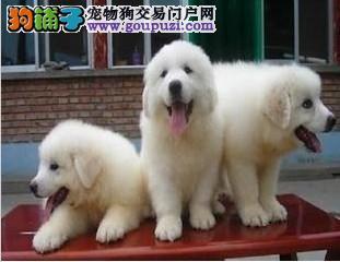 蓝天名犬出售赛级大白熊幼犬多只可选