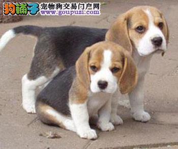 大型专业培育比格犬幼犬包健康办理血统证书