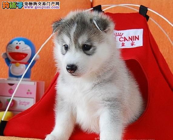 朝阳正规犬舍繁殖哈士奇幼犬 喜欢的朋友电话联系我