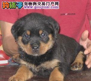 赛级犬新版罗威纳 看家护院 保纯保血统 可签协议