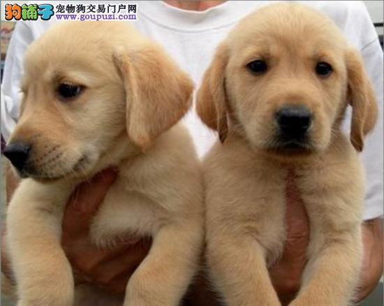 优秀血系乌鲁木齐拉布拉多犬热卖 品质高已做好驱虫