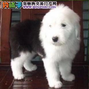 上海买古牧幼犬,看这里,包你满意