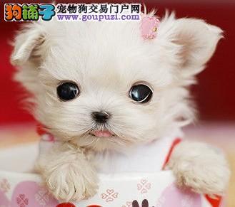 青岛出售健康袖珍幼犬 青岛茶杯袖珍买卖 最小的狗