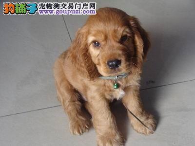 超漂亮的可卡犬百分百纯种好品相 火热销售中