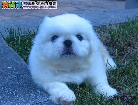 常州市售纯种京巴犬 北京犬幼犬 苹果头宫廷狮子狗