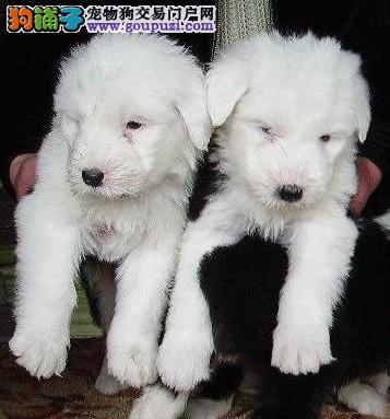 出售纯种英国古老牧羊犬品相好白头黑背欢迎选购